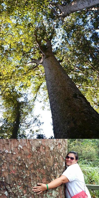 Ilchi Lee Kauri Tree